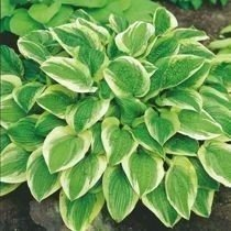 "Funkia ""Hosta"" Austin Dickinson"