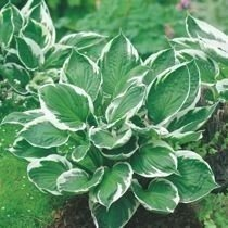 "Funkia ""Hosta"" Minute Man"