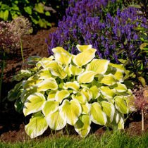 "Funkia ""Hosta"" Spring Morning"