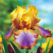 "Kosaciec bródkowy ""Iris Germanica"" Brown Lasso"