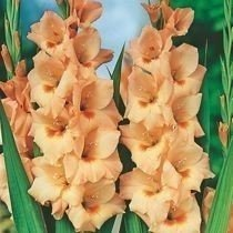 "Mieczyk ""Gladiolus"" Peter Pears"