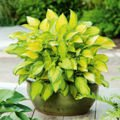 "Funkia ""Hosta"" Golden Tiara"