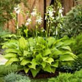 "Funkia ""Hosta"" Royal Standard"