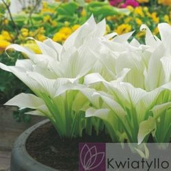 "Funkia ""Hosta"" White Feather"