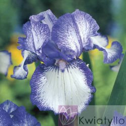 "Kosaciec bródkowy ""Iris Germanica"" Earl of Essex"