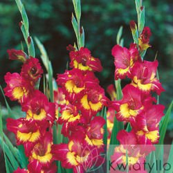 "Mieczyk ""Gladiolus"" Far West"