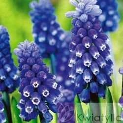 "Szafirek ""Muscari"" Dark Eyes"