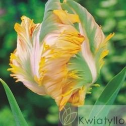 Tulipan Golden Glasnost