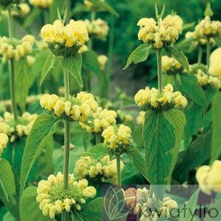 "Żeleźniak ""Phlomis"" Russeliana"