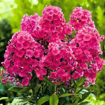 Floks (Phlox) 'Grenadine Dream'