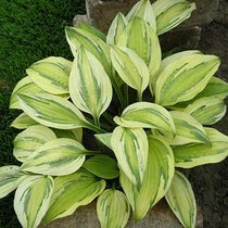 Funkia (Hosta) 'Captain's Adventure'