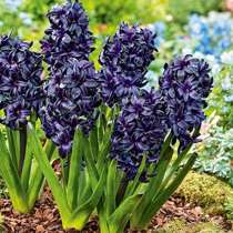 Hiacynt (Hyacinthus) 'Dark Dimension'