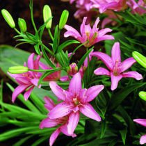 Lilia (Lilium) 'Little Kiss'