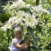 Lilia (Lilium) 'Pretty Woman'