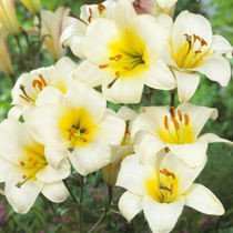 Lilia (Lilium) White Planet