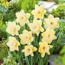 Narcyz (Narcissus) 'Lemon Glow'