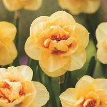 Narcyz (Narcissus) 'Orange Juice'
