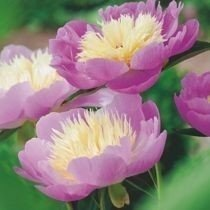 Piwonia (Paeonia) 'Bowl of Beauty'