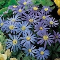 "Zawilec ""Anemone"" Gracki Blenda Blue"