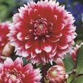 Dalia (Dahlia) 'Red & White Fubuki'