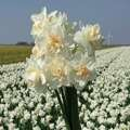 Narcyz (Narcissus) 'Tender Beauty'