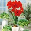 Zwartnica (Hippeastrum) 'Red Peacock'