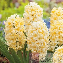 Hiacynt (Hyacinthus) 'City Of Haarlem'