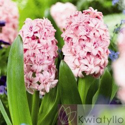Hiacynt (Hyacinthus) 'Prince of Love'