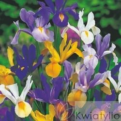 Kosaciec Holenderski (Iris hollandica) Mix