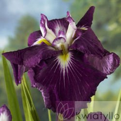 Kosaciec Japoński (Iris Ensata) 'Asian Warrior'