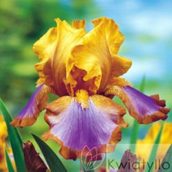 Kosaciec bródkowy (Iris Germanica) 'Brown Lasso'