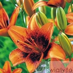 Lilia (Lilium) 'Tribal Dance'