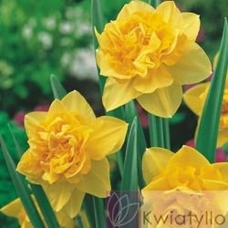 Narcyz (Narcissus) 'Dick Wilden'