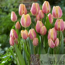 Tulipan (Tulipa) 'Dragon King'